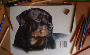 Rottweiler by Sany-lebedev