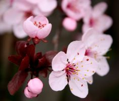 cherry tree in blossom by crissial