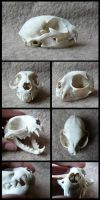 Domestic Cat Skull #2 by CabinetCuriosities