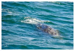 Gray Whale by AzureWindProductions