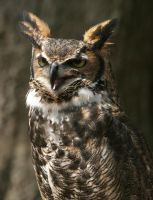 Great Horned Owl 20D0024797 by Cristian-M