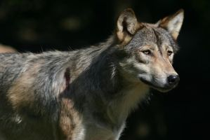 Wolf IV by Parides