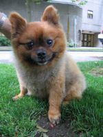 A chow chow at Robson Street by Asaciel