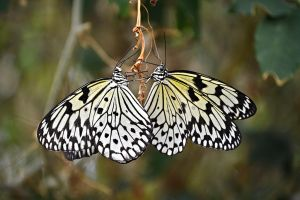 Tree Nymph Butterflies by AngelasPhotography