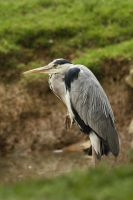 grey heron by unbelievablex