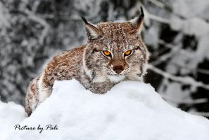 Stong Gaze of a Lynx by PictureByPali