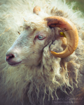 Ram of the Farm by TammyPhotography