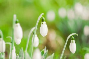 Snowdrops by SGSquirrel