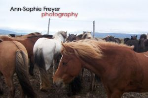 Icelandic Horses in Iceland by Annso94