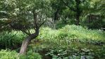 Willow Tree in the middle of a Pond by ThomasAnime
