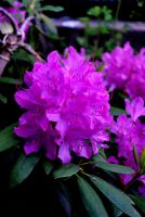 Rhododendron by pourquoi25