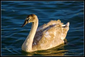 Adolescent swan by Liuanta