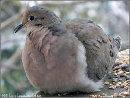 Mourning Dove in the morning by Lou-in-Canada