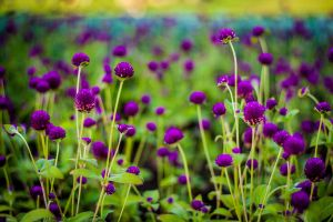 Purple flowers by Garet-Neall