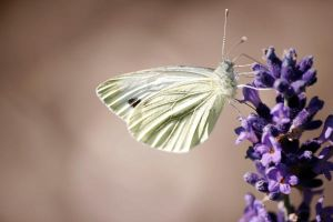 butterfly by tetep