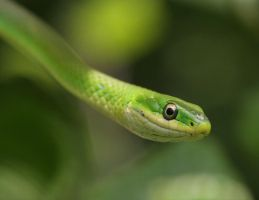 Rough Green Snake 20D0027613 by Cristian-M