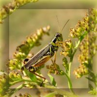 Goldenrod Grasshopper by MuseSusan