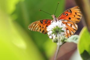 Gulf Fritillary or Passion Butterfly by drewii57