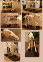 Articulated Red Fox Skeleton Study by BluesCuriosities