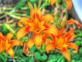 Ditch Lilies or Day Lilies by jim88bro