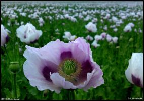 Violet poppy by PaSt1978