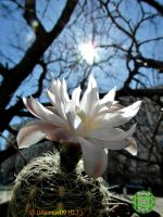 Gymnocalycium (Ga) 1 white flower 15 04m 09 #3 by UAkimov09