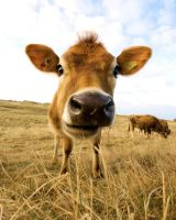 Jersey Cow 2 by Justin-Simpson