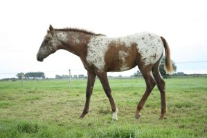 appaloosa horse by Visibre