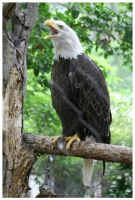 The American Bald Eagle by TheDarkRoom-Photo