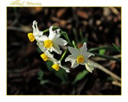 Narcisses by ShlomitMessica