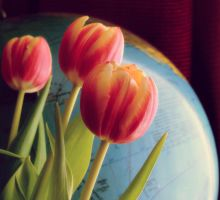 tulips by andr33aa