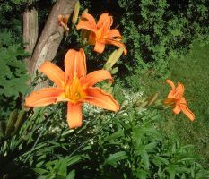 tiger lilies 01 by aSprinkle2much