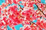 Pink cherry blossoms by TFuruhashii