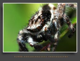jumping spider 5 by dhead