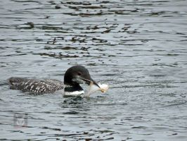 Floundering WIth A Loon by wolfwings1