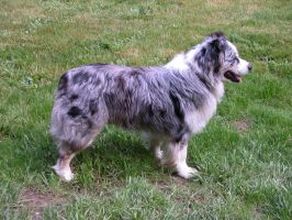 Australian Shepherd Stock 1 by pompierl
