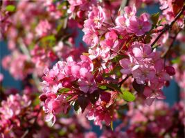 Pink Apple Blossoms by jewels4665