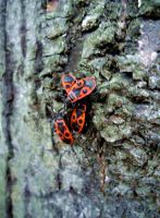 Red bugs by Kitty-Amelie