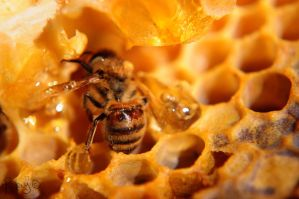 Honeybee Covered in Honey by Pi-ray
