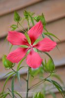 Hibiscus by kimberly-castello