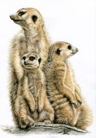 The Meerkats by ArtsandDogs