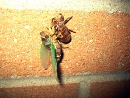 Moulting cicada by ceejayessee