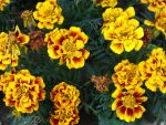 French Marigold by Lavandalu