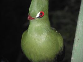Green-Crested Turaco by Skarkdahn