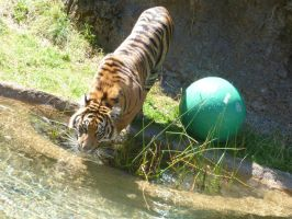 Tiger drinking water by Jumbled-Journi