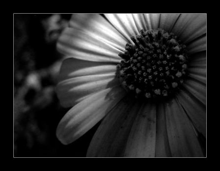 Film Noir Flower by wolfskin