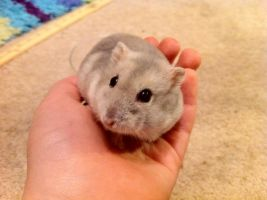 Holly, My hamster by PedroThePie