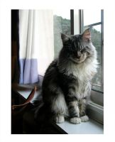 My maine coon 6 by Flore-stock