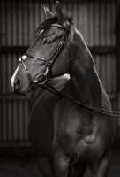 portrait of an ex racehorse II by equinelovex