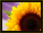A Sunflower by Juless